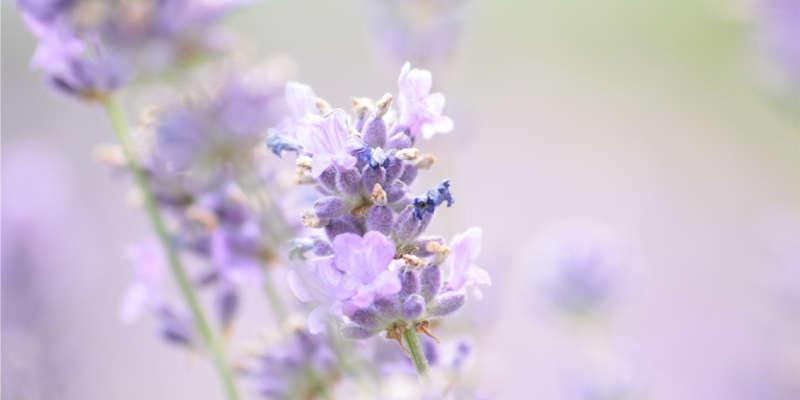 Flores de lavandula angustifolia barata baratas barato baratos comprar online precio precios oferta ofertas