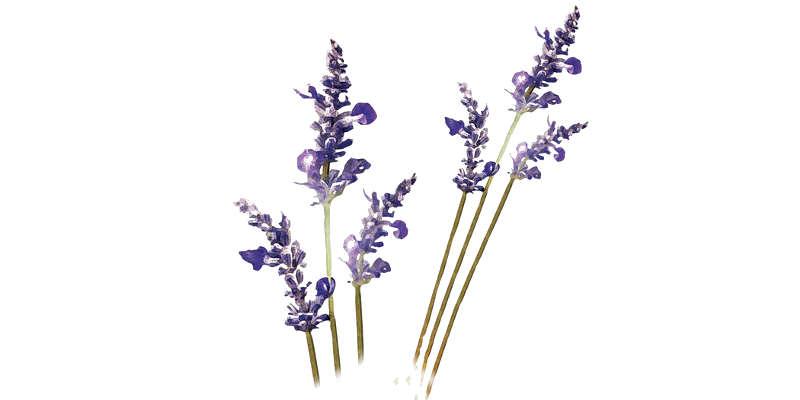 Flores de lavandula angustifolia